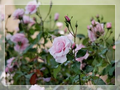 秋のバラ園_c0026824_16553622.jpg