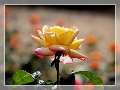 秋のバラ園_c0026824_16554879.jpg