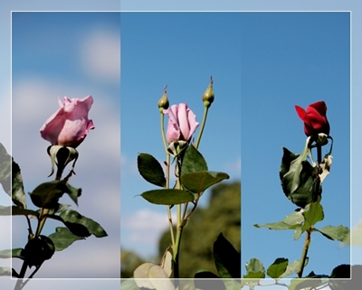 秋のバラ園_c0026824_1712978.jpg