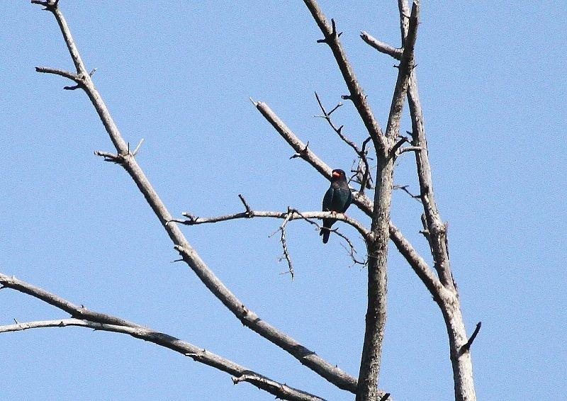 ブッポウソウは、夏鳥として本州、四国、九州に渡来_b0346933_524173.jpg
