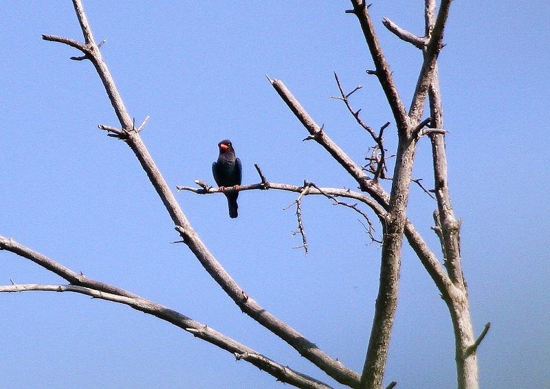 ブッポウソウは、夏鳥として本州、四国、九州に渡来_b0346933_5242471.jpg