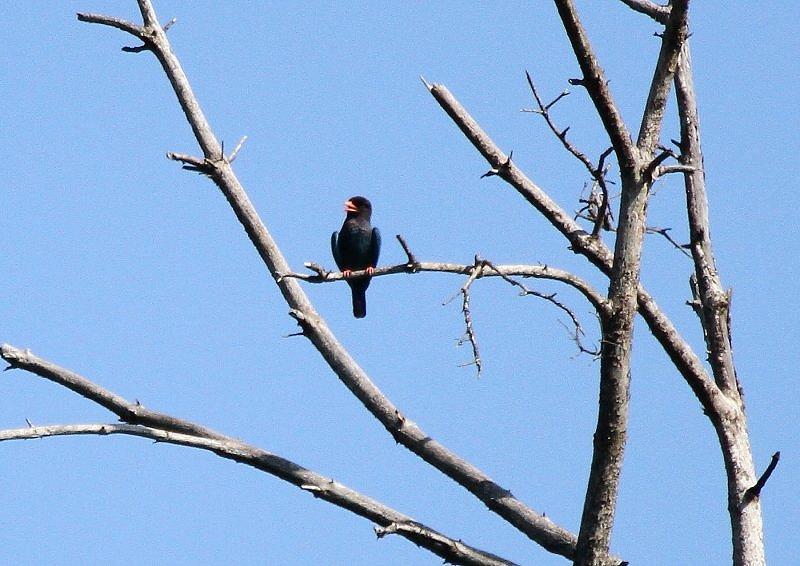 ブッポウソウは、夏鳥として本州、四国、九州に渡来_b0346933_5243267.jpg