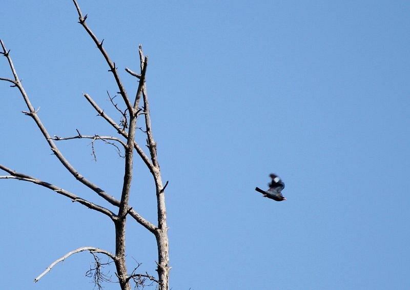 ブッポウソウは、夏鳥として本州、四国、九州に渡来_b0346933_5244039.jpg
