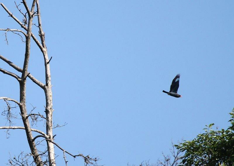 ブッポウソウは、夏鳥として本州、四国、九州に渡来_b0346933_5244897.jpg