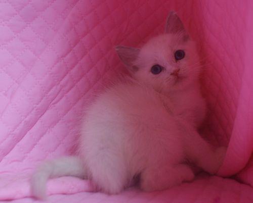 ラグドールの子猫 家族募集_e0033609_2257960.jpg
