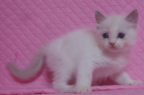 ラグドールの子猫 家族募集_e0033609_22581355.jpg