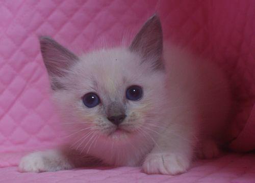 ラグドールの子猫 家族募集_e0033609_22593527.jpg