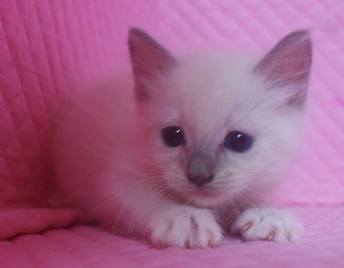 ラグドールの子猫 家族募集_e0033609_2259619.jpg