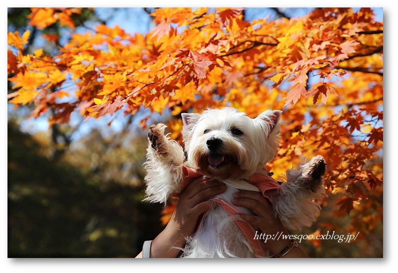☆ 紅葉と白犬さん♪ ☆_a0161111_21203213.jpg