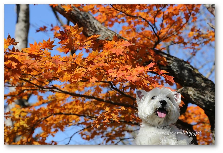☆ 紅葉と白犬さん♪ ☆_a0161111_21212647.jpg