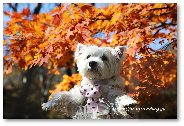 ☆ 紅葉と白犬さん♪ ☆_a0161111_21215917.jpg