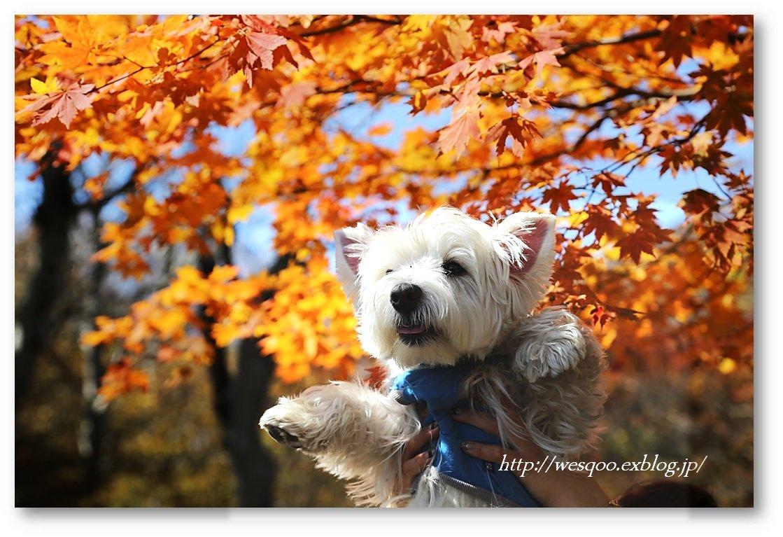 ☆ 紅葉と白犬さん♪ ☆_a0161111_21225764.jpg