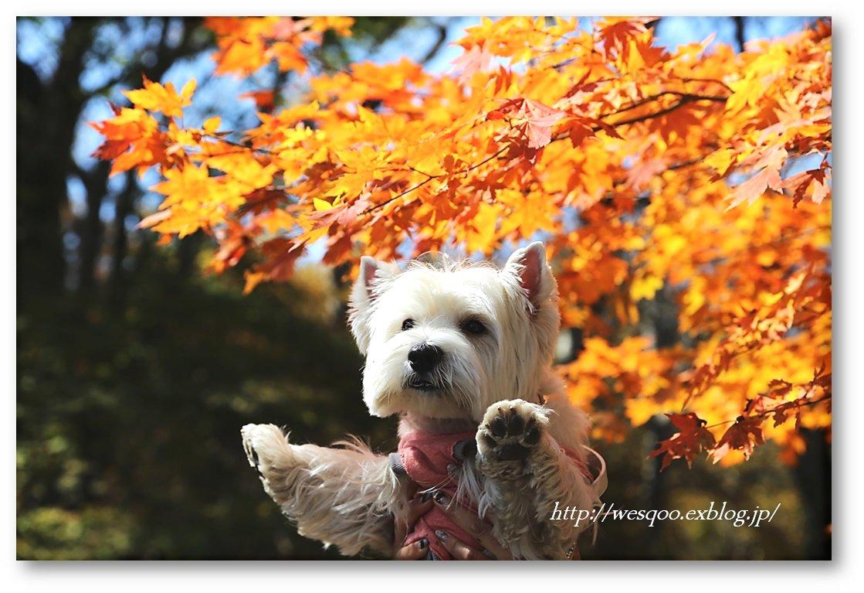 ☆ 紅葉と白犬さん♪ ☆_a0161111_21232983.jpg