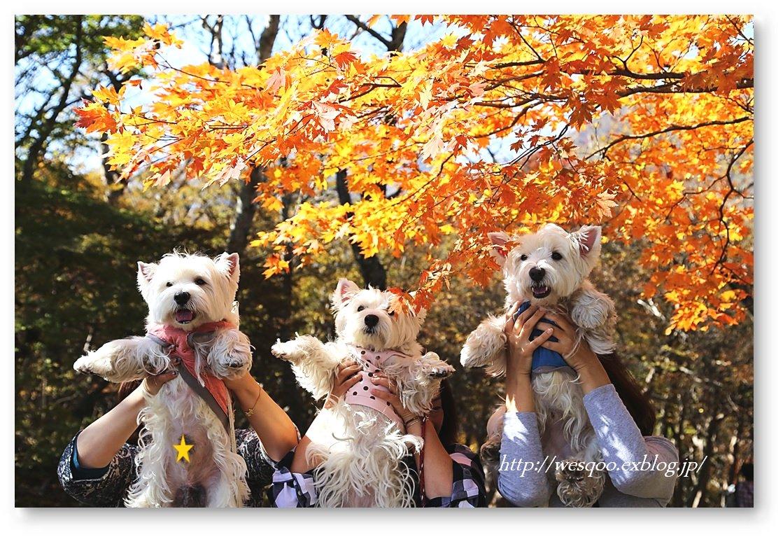 ☆ 紅葉と白犬さん♪ ☆_a0161111_2124294.jpg