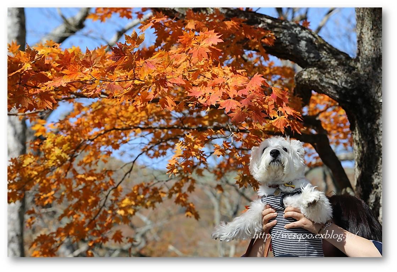 ☆ 紅葉と白犬さん♪ ☆_a0161111_21254011.jpg