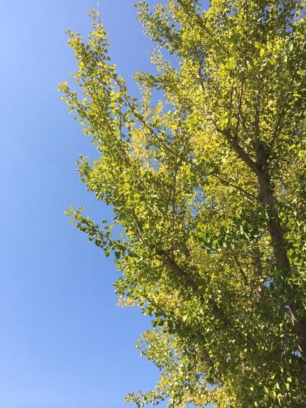 銀杏の木・・・10/16_b0247223_17233415.jpg