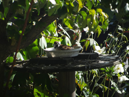 配管工事で餌台移動、雀ちゃん、慣れるの遅いね♪_a0136293_15254875.jpg