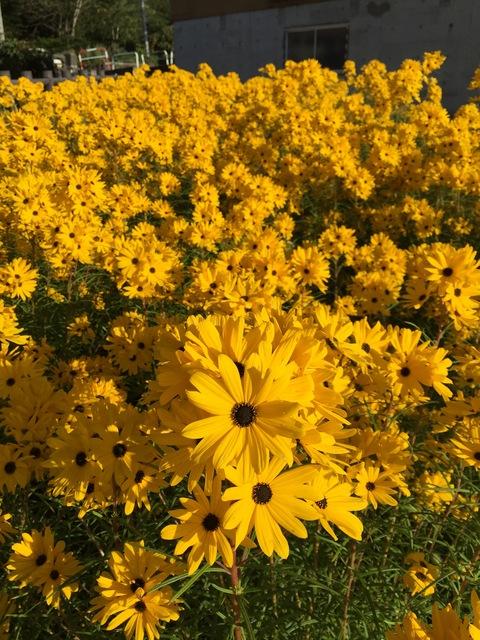 今年もヤナギバヒマワリが花盛り_d0182179_18275953.jpg