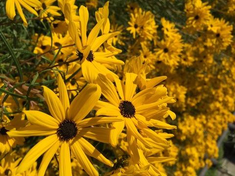 今年もヤナギバヒマワリが花盛り_d0182179_1835169.jpg