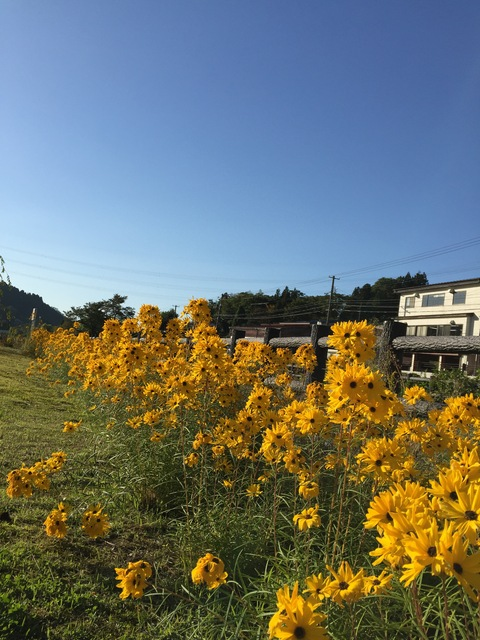 今年もヤナギバヒマワリが花盛り_d0182179_18451048.jpg
