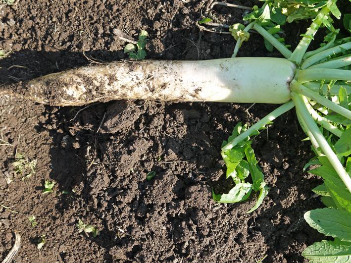 青クビダイコン初収穫、ソラマメとエンドウの種蒔き:10・17_c0014967_10571244.jpg