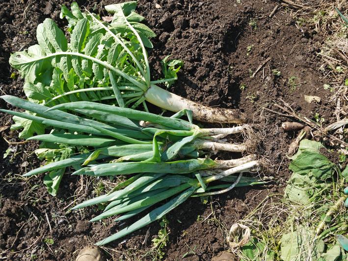 青クビダイコン初収穫、ソラマメとエンドウの種蒔き:10・17_c0014967_10573128.jpg