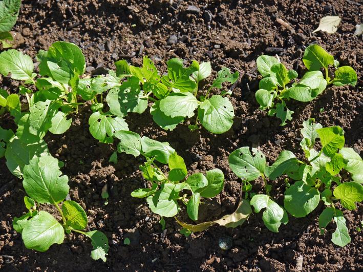 青クビダイコン初収穫、ソラマメとエンドウの種蒔き:10・17_c0014967_1110627.jpg