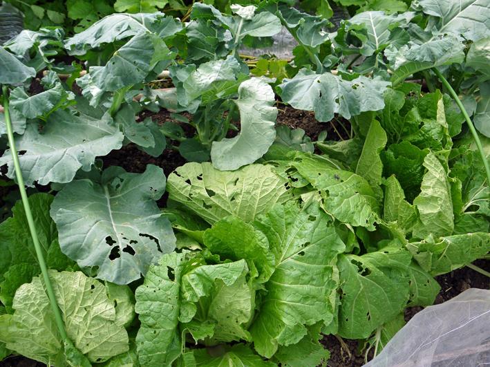 青クビダイコン初収穫、ソラマメとエンドウの種蒔き:10・17_c0014967_1114389.jpg