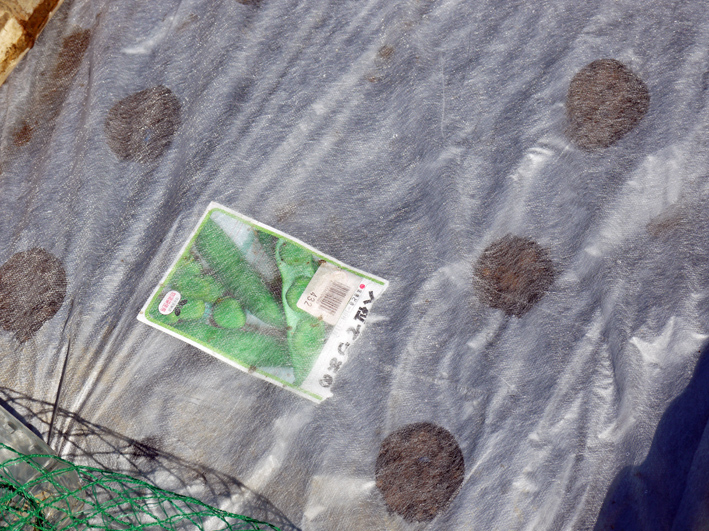 青クビダイコン初収穫、ソラマメとエンドウの種蒔き:10・17_c0014967_112251.jpg