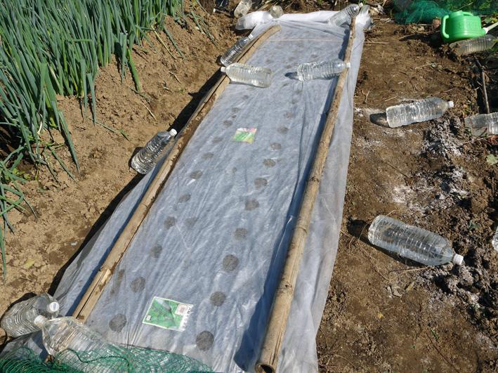 青クビダイコン初収穫、ソラマメとエンドウの種蒔き:10・17_c0014967_112514.jpg
