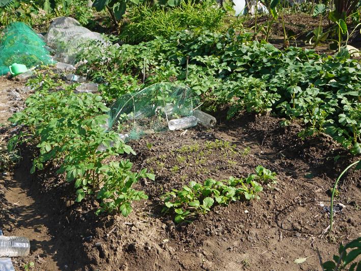 青クビダイコン初収穫、ソラマメとエンドウの種蒔き:10・17_c0014967_114156.jpg