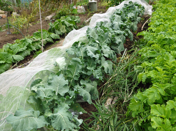 青クビダイコン初収穫、ソラマメとエンドウの種蒔き:10・17_c0014967_115388.jpg