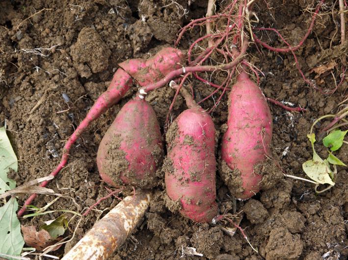 青クビダイコン初収穫、ソラマメとエンドウの種蒔き:10・17_c0014967_1164499.jpg