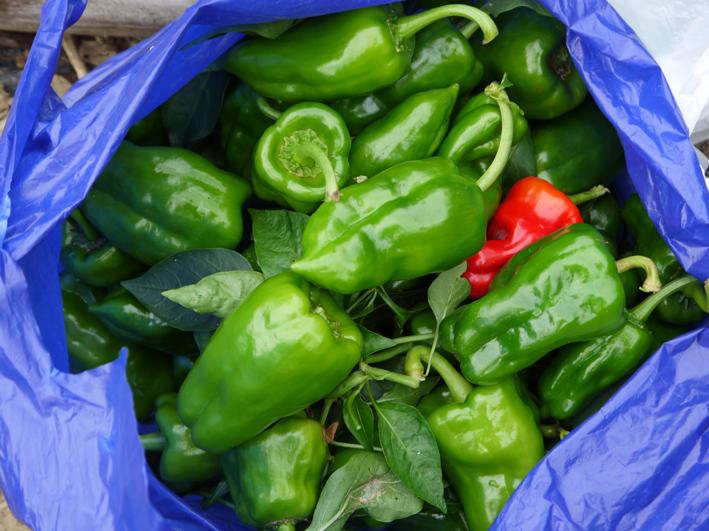 青クビダイコン初収穫、ソラマメとエンドウの種蒔き:10・17_c0014967_1165831.jpg