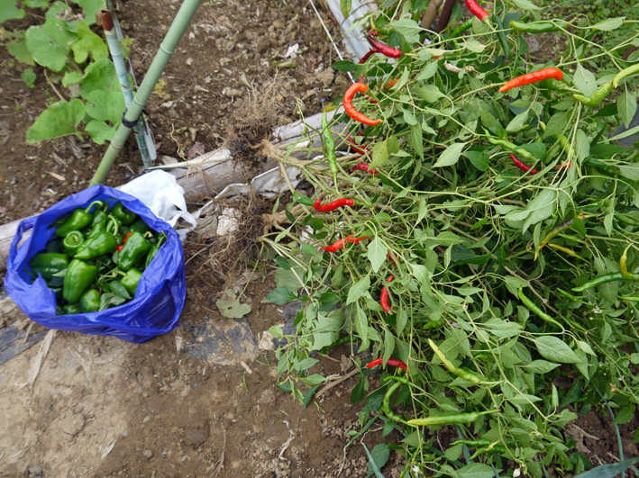 青クビダイコン初収穫、ソラマメとエンドウの種蒔き:10・17_c0014967_1171339.jpg