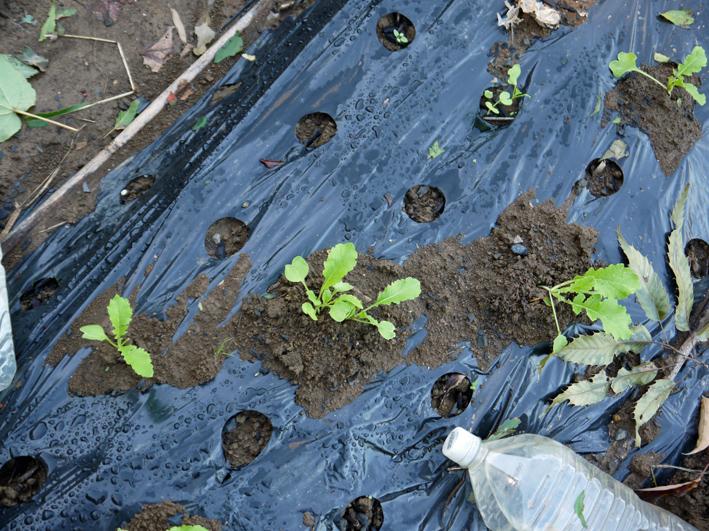 青クビダイコン初収穫、ソラマメとエンドウの種蒔き:10・17_c0014967_1192264.jpg