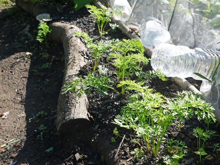 青クビダイコン初収穫、ソラマメとエンドウの種蒔き:10・17_c0014967_1194997.jpg