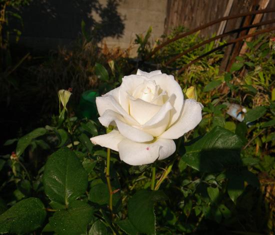 今咲いている花と、大文字草を少し・・・^^_a0136293_17331738.jpg
