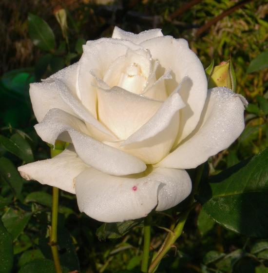 今咲いている花と、大文字草を少し・・・^^_a0136293_17375245.jpg