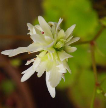 今咲いている花と、大文字草を少し・・・^^_a0136293_17481176.jpg