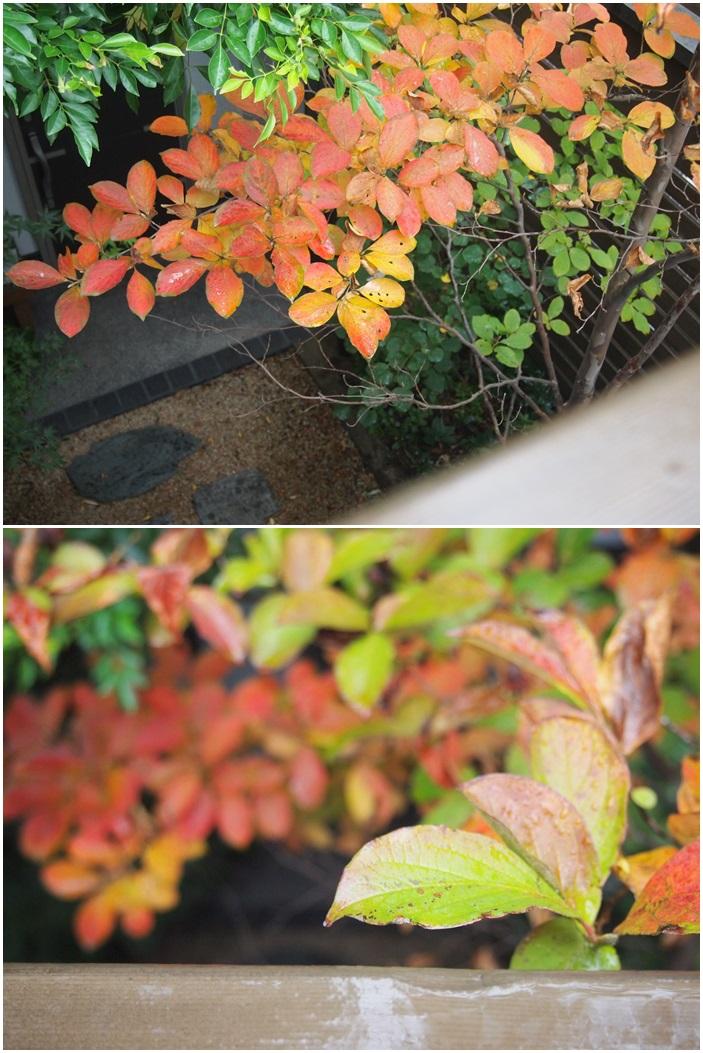 シャラノキも秋色☆_c0152341_8564871.jpg