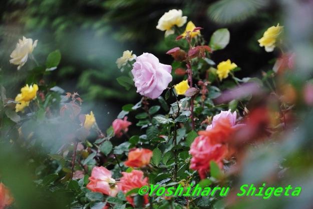 〜秋薔薇〜_c0152400_19134865.jpg