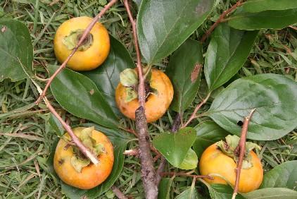 秋の収穫_d0140533_9525615.jpg