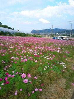 浅海原のコスモス畑_c0034228_21262389.jpg