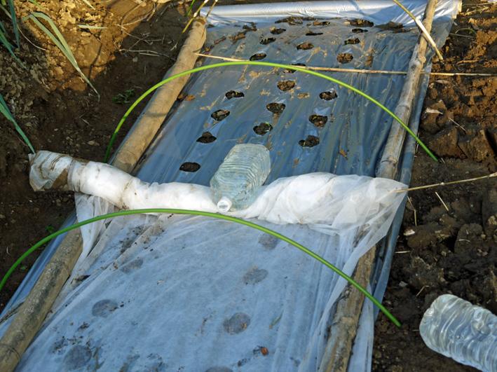 コカブ初収穫、ソラマメ、エンドウ発芽:10・24_c0014967_17455282.jpg