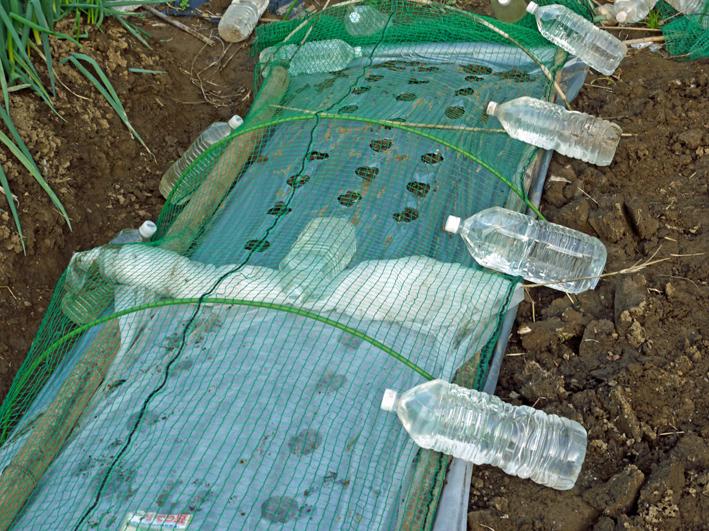 コカブ初収穫、ソラマメ、エンドウ発芽:10・24_c0014967_1746121.jpg
