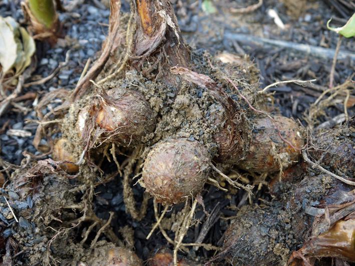 10・26芋煮会に収穫したての里芋、ダイコン、ネギなど届ける_c0014967_19135431.jpg