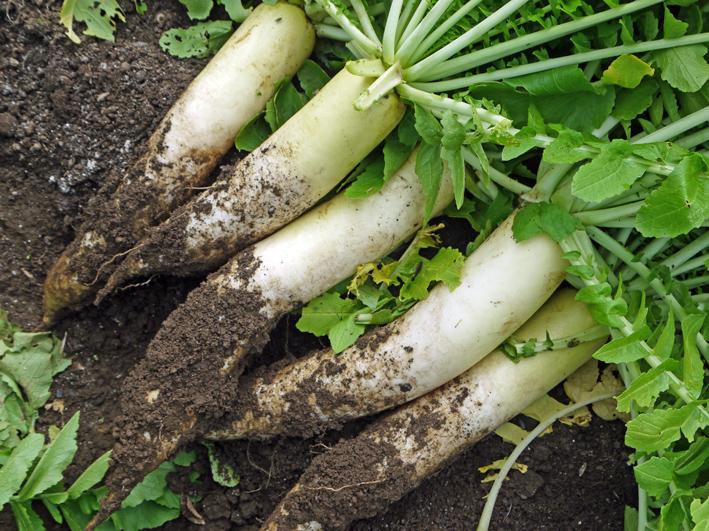 10・26芋煮会に収穫したての里芋、ダイコン、ネギなど届ける_c0014967_19143691.jpg