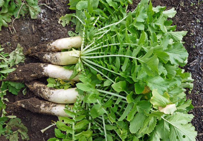 10・26芋煮会に収穫したての里芋、ダイコン、ネギなど届ける_c0014967_1914582.jpg