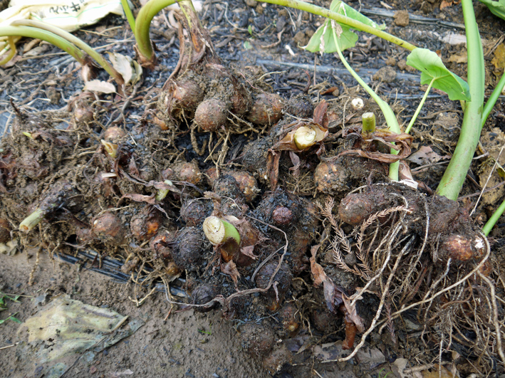 10・26芋煮会に収穫したての里芋、ダイコン、ネギなど届ける_c0014967_1914827.jpg